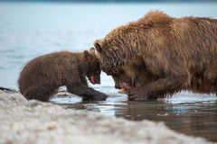 Mama bear and her cubs. Kuril lake, Kamchatka royalty free stock image