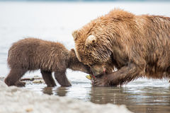 Mama bear and her cubs. Kuril lake, Kamchatka stock photos