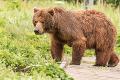 Mama bear. Kamchatka peninsula Kronotsky nature reserve stock images