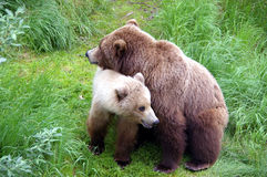 Mama-bear with a kid Stock Images