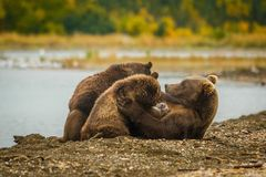 Mama-bear milking her two cubs in Brooks falls, Alaska. Mama-bear milking her two cubs in Brooks falls camp in Alaska, wild bears in Katmai national park, unique royalty free stock image