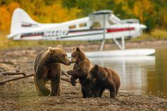 Free Mama Bear Walking With Her Two Cubs On The Beach Of Naknak Lake, Alaska Stock Photos - 111606663