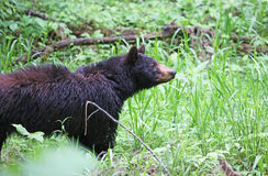 Mama bear watching her cub Royalty Free Stock Photos