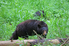 Mama  bear watching for her cub Royalty Free Stock Image