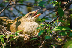 Mama Bird with its Baby on a Tree in a Nest Royalty Free Stock Image
