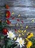 Mama blüht in den Farben des orange Gelbs und des Weiß stockfoto