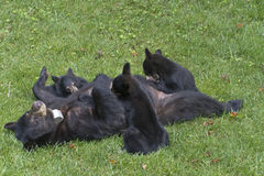 Mama Black Bear Nurses Three Cubs On the Lawn Stock Images