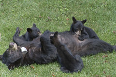 Mama, Black Bear Suckles Her Three Cubs Stock Image