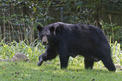 Mama Black Bear in the Yard Royalty Free Stock Photography