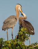 Mama blue heron feeds large chick. Almost as big as she is stock image