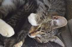 Mama cat lies with one blind kitten Royalty Free Stock Photography