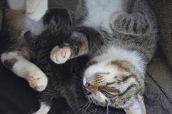 Mama cat lies with one blind kitten Royalty Free Stock Image