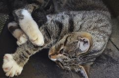 Mama cat lies with one blind kitten stock image