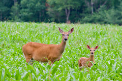 Mama deer with fawn. A mama deer with her fawn standing in a corn field looking at the camera Royalty Free Stock Image