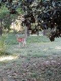 Mama Deer royalty free stock photography