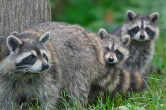 Mama del mapache con los bebés Fotos de archivo