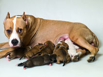 Mama del perro Imagenes de archivo