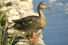 Mama Duck. A mother mallard duck watches royalty free stock photography
