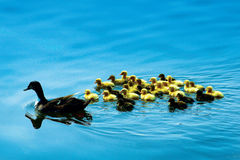 Mama Duck And Babies Swimming Stock Photography