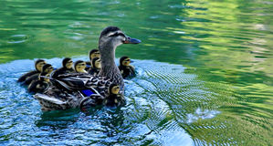 Mama Duck and Babies. Mama duck and her babies swimming in the water Stock Images