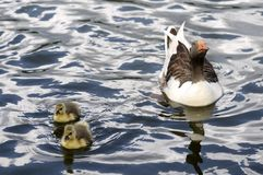 Mama Duck and Babies Swimming Stock Photos