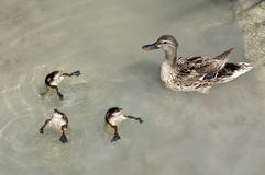 Mama Duck and Babies Swimming. Mama duck swimming with her babies stock photography