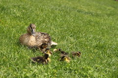 Mama duck with baby ducks. Mother mallard duck keeps her baby ducks close stock photo