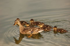 Mama Duck with Baby Ducks. Mother mallard duck with baby ducks stock photo