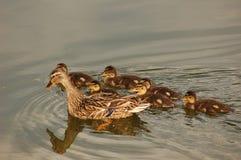 Mama Duck con le anatre del bambino Fotografia Stock