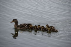 Mama duck & ducklings. Swimming royalty free stock image