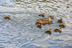 Mama duck and her ducklings Stock Image