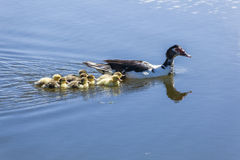 Mama duck and her ducklings. In water stock photography