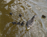 Mama Duck. And her family royalty free stock photography