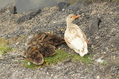 Mama duck Royalty Free Stock Images