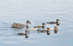 Mama duck swimming with six baby ducks. Mama mallard duck swimming with six baby ducks in a lake Unisee or Stadtwaldsee in Bremen, Germany Stock Photos