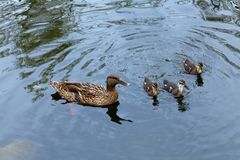 Mama duck and three cute duckling sail in your direction. Reserv Stock Photos