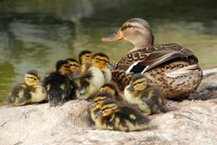Mama Duck With Ten Baby Ducks Royalty Free Stock Photos