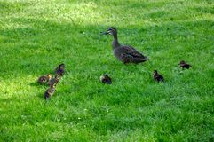 Mama and Ducklings royalty free stock image