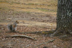 Mama-Eichhörnchen Stockfotografie