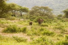 Mama elephant and baby elephant walk toward us. Driving along a road in serengetti plain in Tanzania I saw this female elephant and her baby approaching. they royalty free stock photo