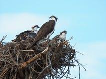 Mama-Fischadler-Uhren über ihrem zwei Nest-verklemmten Küken Lizenzfreie Stockfotografie