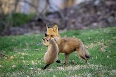 Mama Fox carrying her Kit in Rhinebeck, NY. A mama fox carrying her kit to a new den in Rhinebeck, NY The Hudson Valley Region. This image was taken by Debbie royalty free stock image