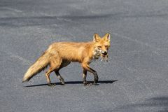 Mama Fox carrying a squirrel. A mama fox carrying a squirrel in her mouth to bring to the kits in Rhinebeck, NY The Hudson Valley Area. This image was taken by royalty free stock image