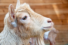 Mama goat and kid royalty free stock photography