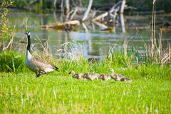 Mama goose leads chicks Stock Photo