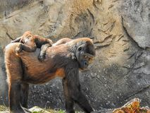 Mama gorilla and baby gorilla. Baby gorilla on her mothers back stock photo