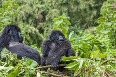 Mama goryl i juniora Silverback w ich gniazdeczku Obrazy Royalty Free