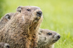 Mama groundhog with babies. Female groundhog, Marmota Monax, with her babies royalty free stock photography