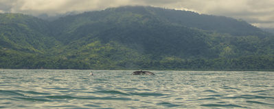 Mama humpback with Baby. A Mama Humpback whale dives with her baby next to her in the breeding grounds off the coast of Costa Rica Stock Photography