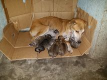 Mama-Hundekrankenpflege-Welpen stockfotos